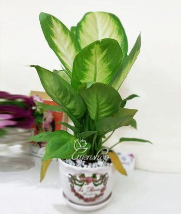 Hoa lụa, hoa giả Uyên shop, Cây vạn niên thanh