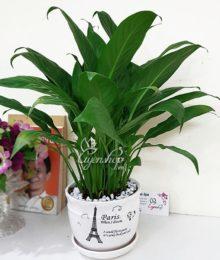 Hoa lụa, hoa giả Uyên shop, Cây Lan Ý