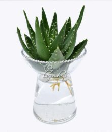 Hoa lụa, hoa giả Uyên shop, Cây nha đam thủy sinh